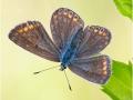 Kleiner Sonnenröschen-Bläuling (Aricia agestis) 02