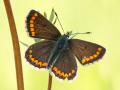 Kleiner Sonnenröschen-Bläuling (Aricia agestis) 03