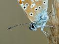 Kleiner Sonnenröschen-Bläuling (Aricia agestis) 01