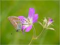 Storchschnabel-Bläuling (Aricia eumedon) 01