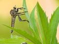 Thymian-Ameisenbläuling (Phengaris arion)  / Schlichte Raubfliege (Machimus rusticus) 05