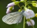 Leguminosen oder Reals Schmalflügel-Weißling (Leptidea sinapis oder reali) 03