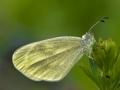 Leguminosen oder Reals Schmalflügel-Weißling (Leptidea sinapis oder reali) 02