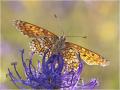 Wegerich-Scheckenfalter (Melitaea cinxia) 01
