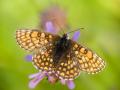 Ehrenpreis-Scheckenfalter (Melitaea aurelia) 08