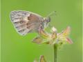 Kleines Wiesenvögelchen (Coenonympha pamphilus) 01