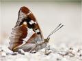 Großer Schillerfalter (Apatura iris) 01