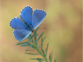 Himmelblauer Bläuling (Polyommatus bellargus) 11