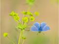 Himmelblauer Bläuling (Polyommatus bellargus) 04