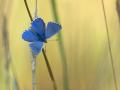 Himmelblauer Bläuling (Polyommatus bellargus) 03