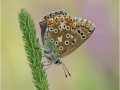 Himmelblauer Bläuling (Polyommatus bellargus) 05
