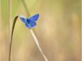 Himmelblauer Bläuling (Polyommatus bellargus) 10