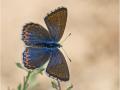 Himmelblauer Bläuling (Polyommatus bellargus) 09