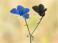 Himmelblauer Bläuling (Polyommatus bellargus) 06
