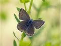 Himmelblauer Bläuling (Polyommatus bellargus) 08