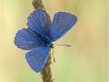Himmelblauer Bläuling (Polyommatus bellargus) 07