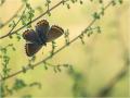 Himmelblauer Bläuling (Polyommatus bellargus) 13