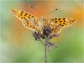 Kleiner Perlmutterfalter (Issoria lathonia) 01