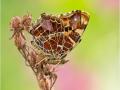Landkärtchen (Araschnia levana) 05