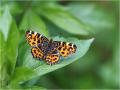 Landkärtchen (Araschnia levana) 04