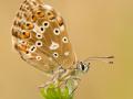 Silbergrüner Bläuling (Polyommatus coridon) 03