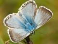 Silbergrüner Bläuling (Polyommatus coridon) 04