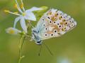 Silbergrüner Bläuling (Polyommatus coridon) 05