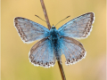 Silbergrüner Bläuling (Polyommatus coridon) 06