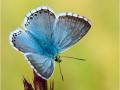 Silbergrüner Bläuling (Polyommatus coridon) 07