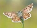 Silbergrüner Bläuling (Polyommatus coridon) 08