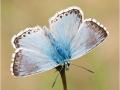 Silbergrüner Bläuling (Polyommatus coridon) 09