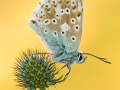 Silbergrüner Bläuling (Polyommatus coridon) 02