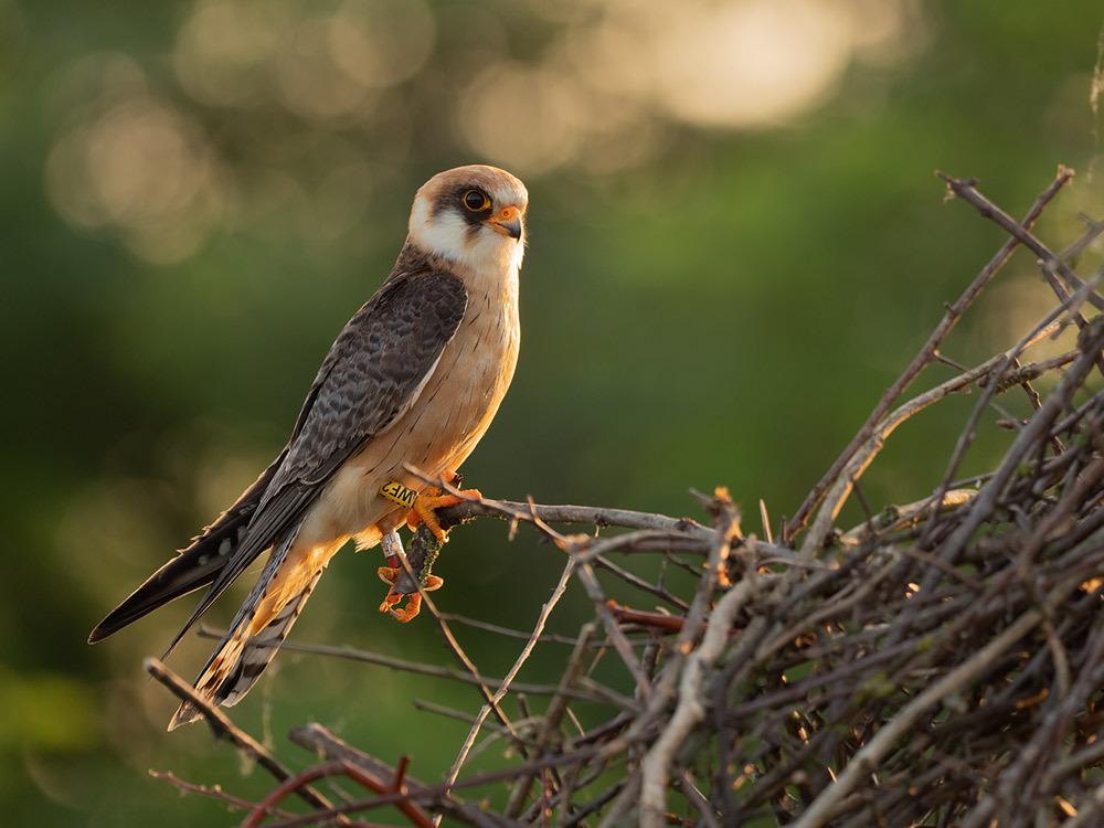 Rotfußfalke (Falco vespertinus) 01
