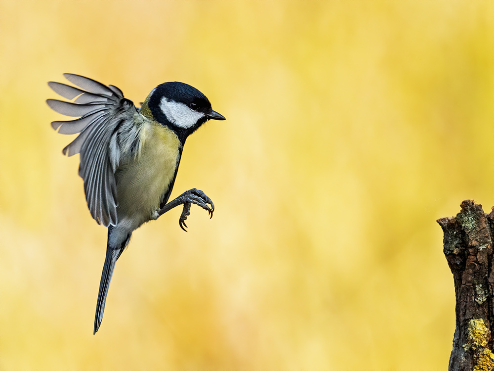 Kohlmeise (Parus major) 11