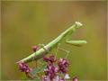 Europäische Gottesanbeterin (Mantis religiosa) 01