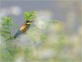 Bienenfresser (Merops apiaster) 01