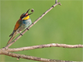 Bienenfresser (Merops apiaster) 02