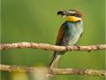 Bienenfresser (Merops apiaster) 03