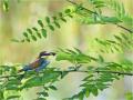 Bienenfresser (Merops apiaster) 04