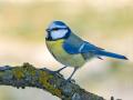 Blaumeise (Cyanistes caeruleus) 03