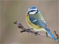 Blaumeise (Cyanistes caeruleus) 04