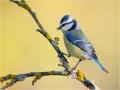 Blaumeise (Cyanistes caeruleus) 05