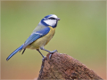 Blaumeise (Cyanistes caeruleus) 06