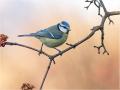 Blaumeise (Cyanistes caeruleus) 07