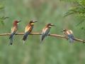 Bienenfresser (Merops apiaster) 05