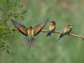 Bienenfresser (Merops apiaster) 06