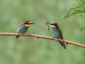 Bienenfresser (Merops apiaster) 07