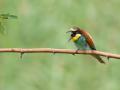 Bienenfresser (Merops apiaster) 08