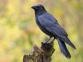 Aaskrähe oder Rabenkrähe (Corvus corone) 01