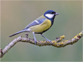 Kohlmeise (Parus major) 01